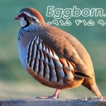 french-partridge01ll