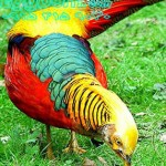 goldenpheasants
